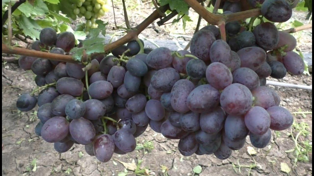 Кишмиш Сказка - это действительно сказка и мечта любого виноградаря
