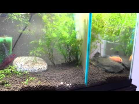 Jewel cichlid breeding 10 gallon tank