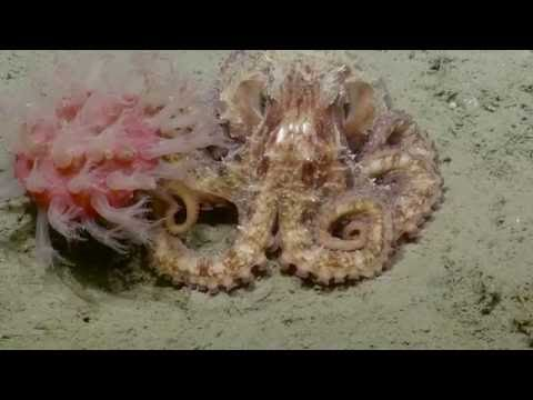 Up-close and Personal with Pacific Giants & Graneledone Octopi | Nautilus Live