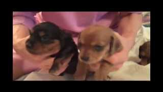 Three Week Old Mini-dachshund Puppies
