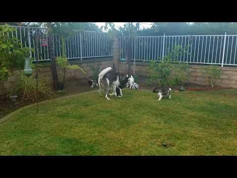 PuppyFinder.com : American Akitas