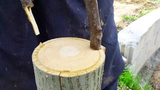 Cevizde Kalem Aşı Uygulaması - How to Bark Grafting Technique on Walnut Tree.