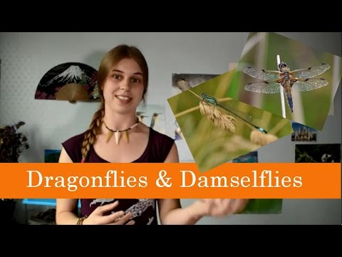 The difference between a dragonfly and a damselfly