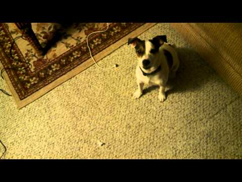 Jack Russell barking and crying at same time cause he cant reach the squeaky toy
