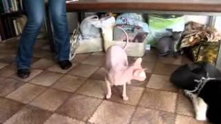 Атаксия мелких домашних животных