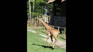 Turtle Back Zoo July 2, 2016 Giraffes
