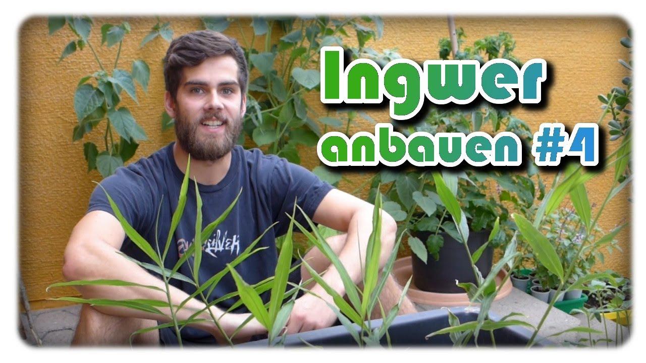 Gemeinsame Ingwer erfolgreich anbauen #4 | Ingwer pflanzen | Ingwer im Kübel @XA_83