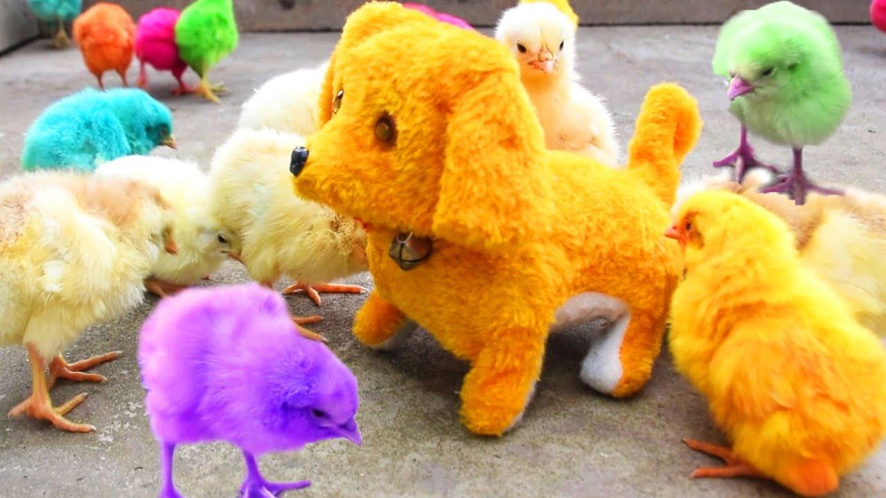 Murgi Baby Chicks Vs. PUPPY Toy Video / FishCutting