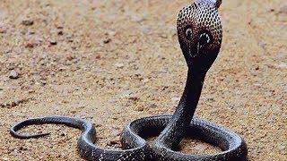 Snake lively dancing