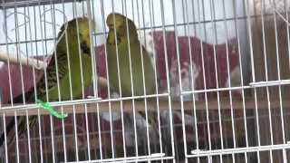 How To Tell When Budgies are Getting Ready to Mate