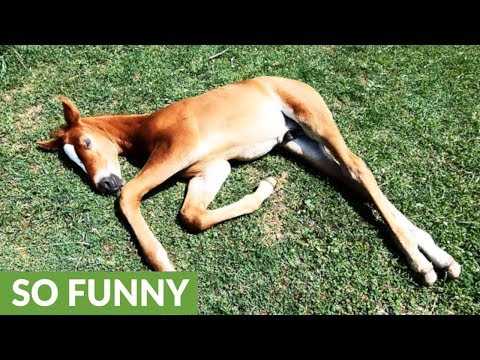 Adorable foal dreams of running as he snoozes in the sunshine