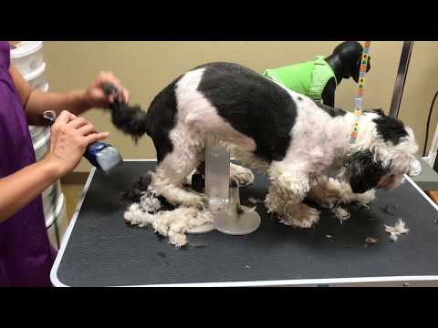 How to Groom a Shih Tzu full Groom (Charlie)