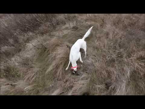 Pheasant Hunting 2015 with English Setters