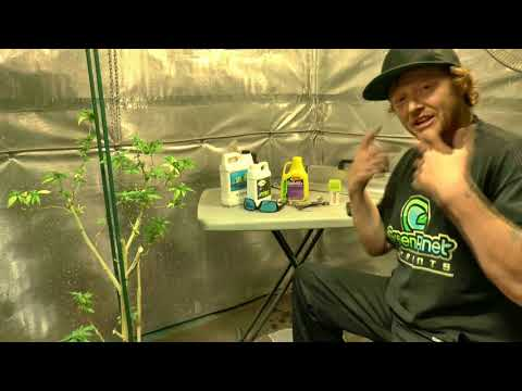 Re Vegging A Flowering Plant How to revert  Cannabis