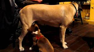 NGSD New Guinea Singing Dog Singer Satchmo Convinces Gracie to Be His Wet Nurse!