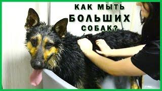 Как мыть БОЛЬШИХ собак? Моем немецкую овчарку. PRO-Хвост