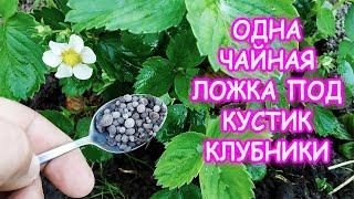 Клубника будет бомба честно говоря Чем подкормить клубнику во время цветения для большого урожая