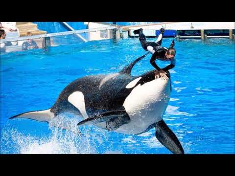Orca Whales In Captivity