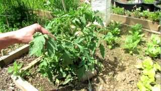 A Complete Video Guide for Growing Heirloom Tomatoes: Start to Finish(This is the growth of the same tomato plant 'Black Krim' from start to finish. I spliced together my 6 videos to create A Complete Guide for Growing Heirloom ..., 2012-07-28T19:02:54.000Z)