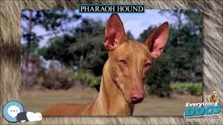 Pharaoh Hound  Everything Dog Breeds