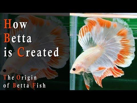 How Betta Is Created - The Origin Of Betta