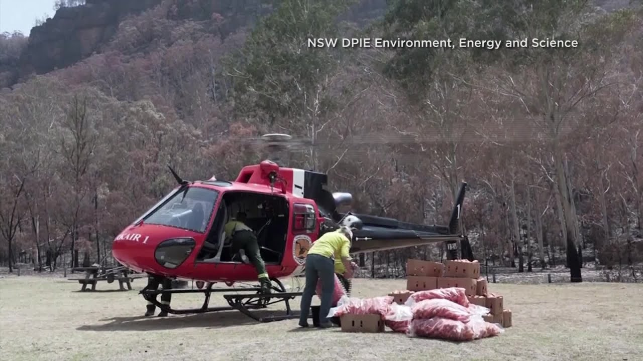 Australian wildlife officials airdrop food for animals affected by bushfires