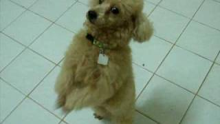 My Pet Poodle Toy