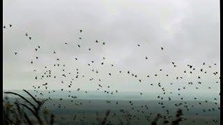 FILM SEASON la chasse pigeons ramiers haut de france  complet