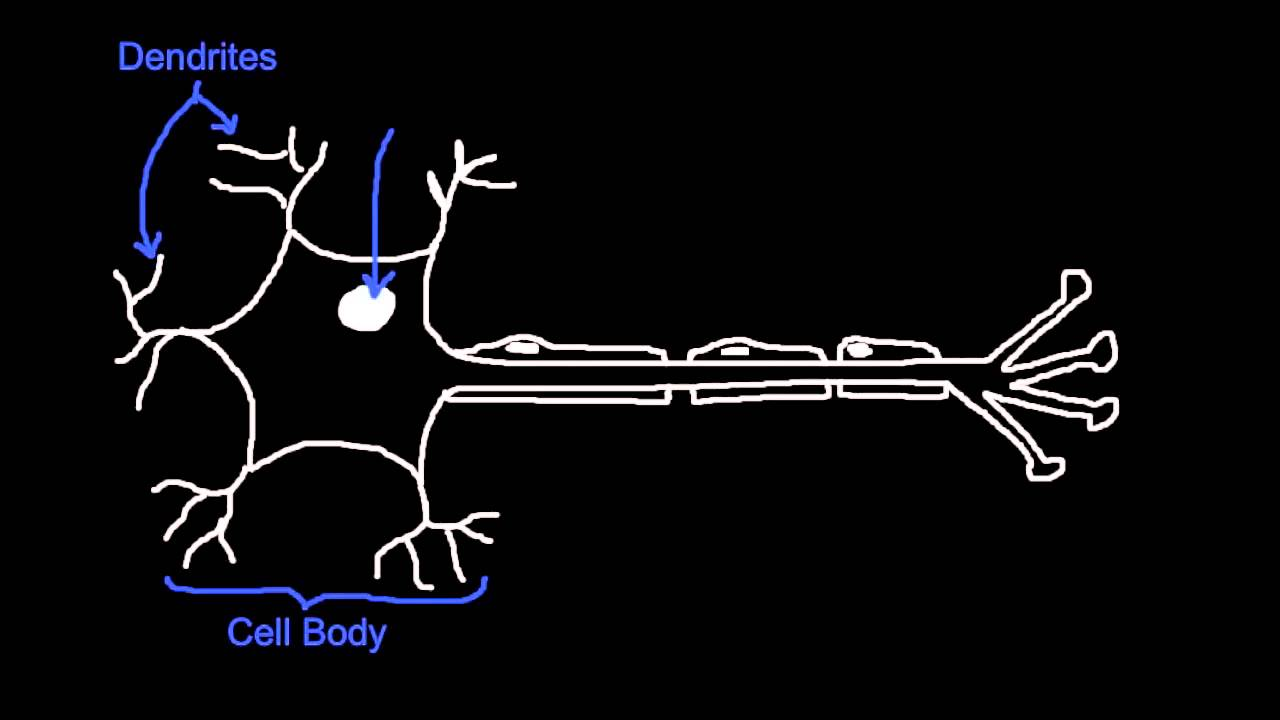 652 draw and label a diagram of the structure of a motor neuron 652 draw and label a diagram of the structure of a motor neuron ccuart Choice Image