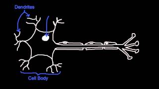 6.5.2 Draw and label a diagram of the structure of a motor neuron