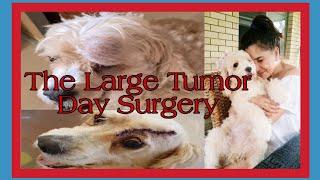 Spoodle Surgery Has Gone Well   Spoodle Day Surgery #poodle