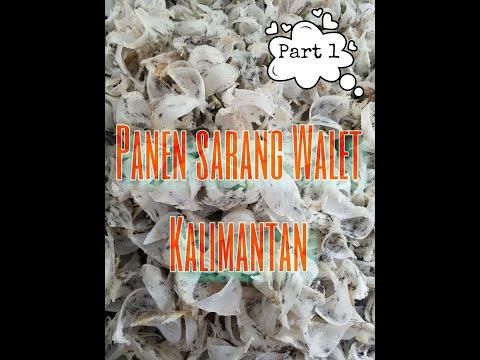 Panen Sarang Burung Walet Kalimantan - Indonesia Birdnest #part1