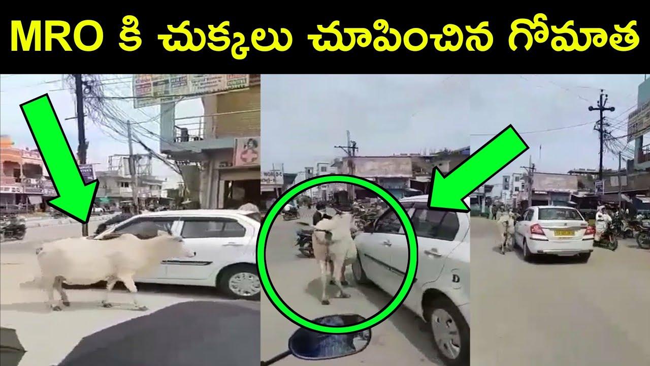 MRO కి చుక్కలు చూపించిన గోమాత | కార్ ని కదలనీయాకుండ ఎలా అడ్డుకుంటుందో చూడండి | Telugu Show | Latest