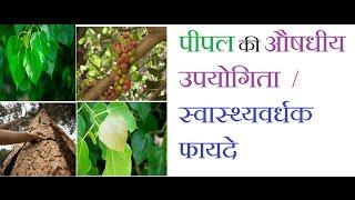 पीपल के आयुर्वेदिक और स्वास्थ्यवर्धक फायदे  || Health Benefit || Peepal Tree in Hindi