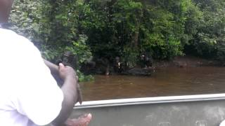 Chimp Island Video 2