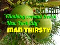 Climing Coconut tree in New York City | man thirsty need some coconut water