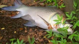 Gigantic *20 POUND katla fish at Dhanmondi lake !!!!