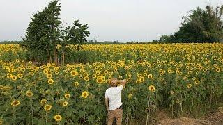 【最新】ロッブリー県のひまわり畑(Sunflower fields)の場所② in タイ