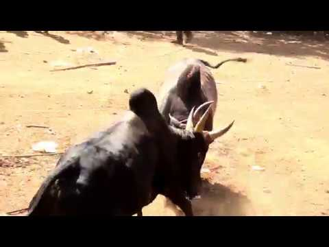 JALLIKATTU ALBUM SONG DIRECTED&EDITED BY MOHAN KANNAN (9042404301)