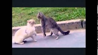 Кошачьи бои   без правил .Cat fight
