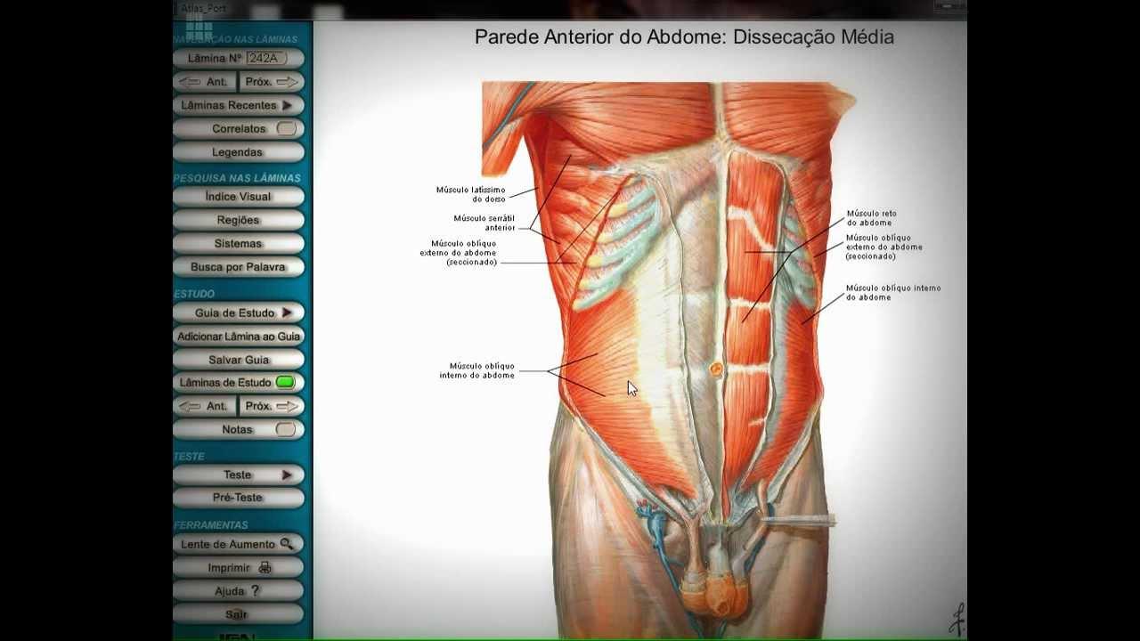 Anatomia Humana: Músculos do tórax e abdomen. - YouTube