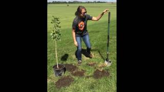 Tree tutorial: How to plant a Maple Tree