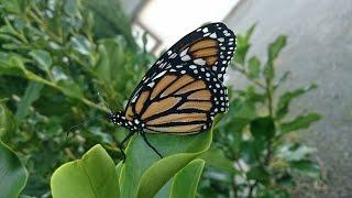 Saving Fallen Pupating Monarch Caterpillars And Chrysalis