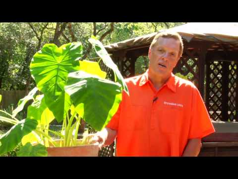 Gardening Tips Caring For Elephant Ear Plants