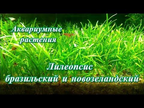 #Аквариумные_растения Лилеопсис бразильский и новозеландский. Неприхотливые почвопокровки.