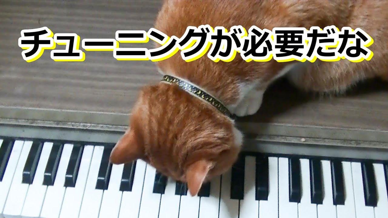オルガン演奏しろ猫さん【侵入した野良仔猫】~家猫修行中~