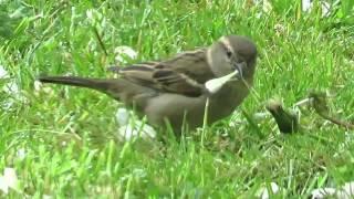 Vandal Sparrow attacks Dandelion Head
