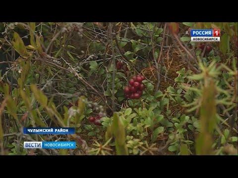 Жители районов Новосибирской области вышли на сбор дикоросов