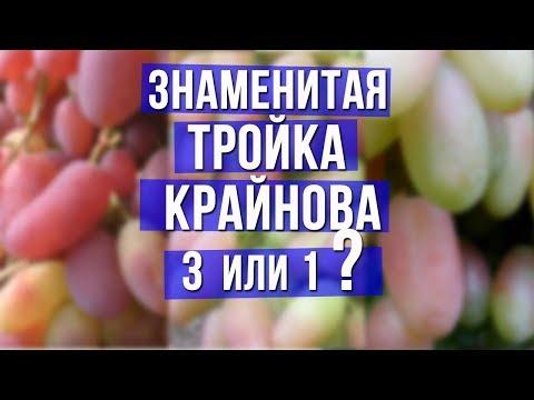 Знаменитая тройка Крайнова. Три сорта винограда или всё таки один