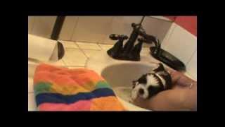 Shih Tzu Puppy Grooming
